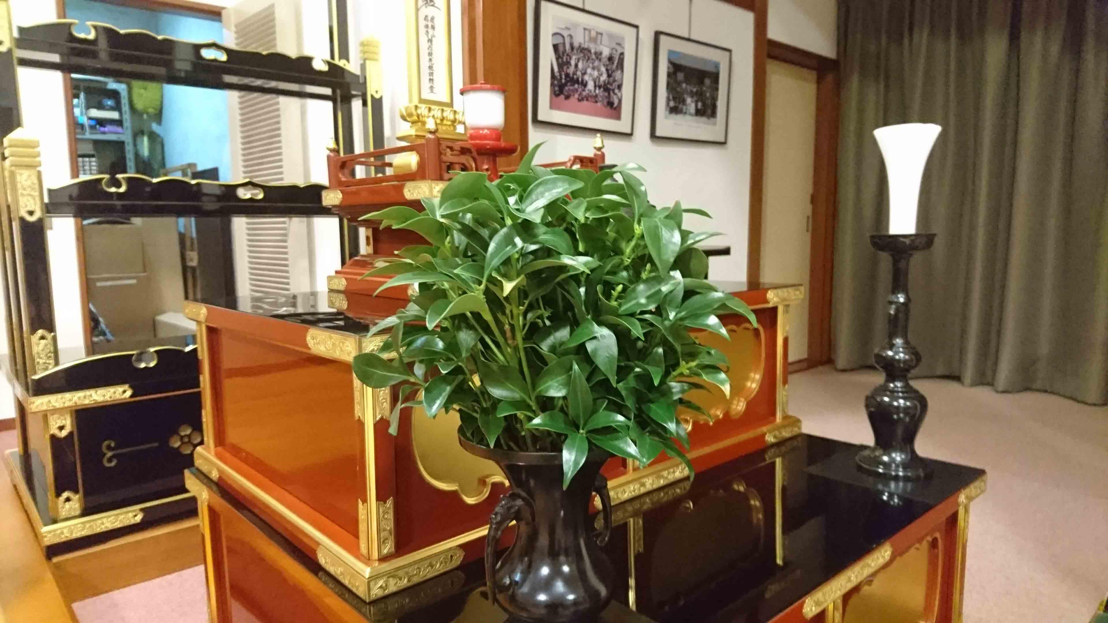 <i>Illicium anisatum</i>, il <i>shikimi giapponese</i>, ad ornamento dell'altare buddista.