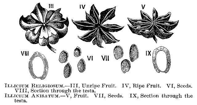 Le relazioni morfologiche fra <i>Illicium religiosum</i> Sieb. e <i>Illicium anisatum</i> Lour.