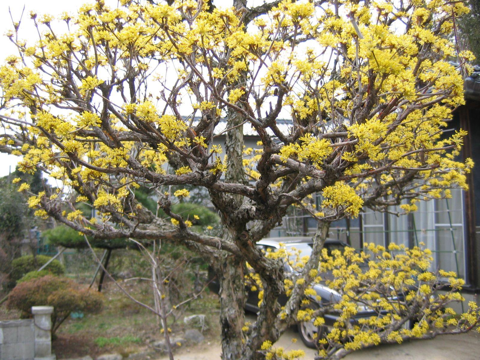 Notevole esemplare di <i>Cornus officinalis</i> nella prefettura di Fukuoka.