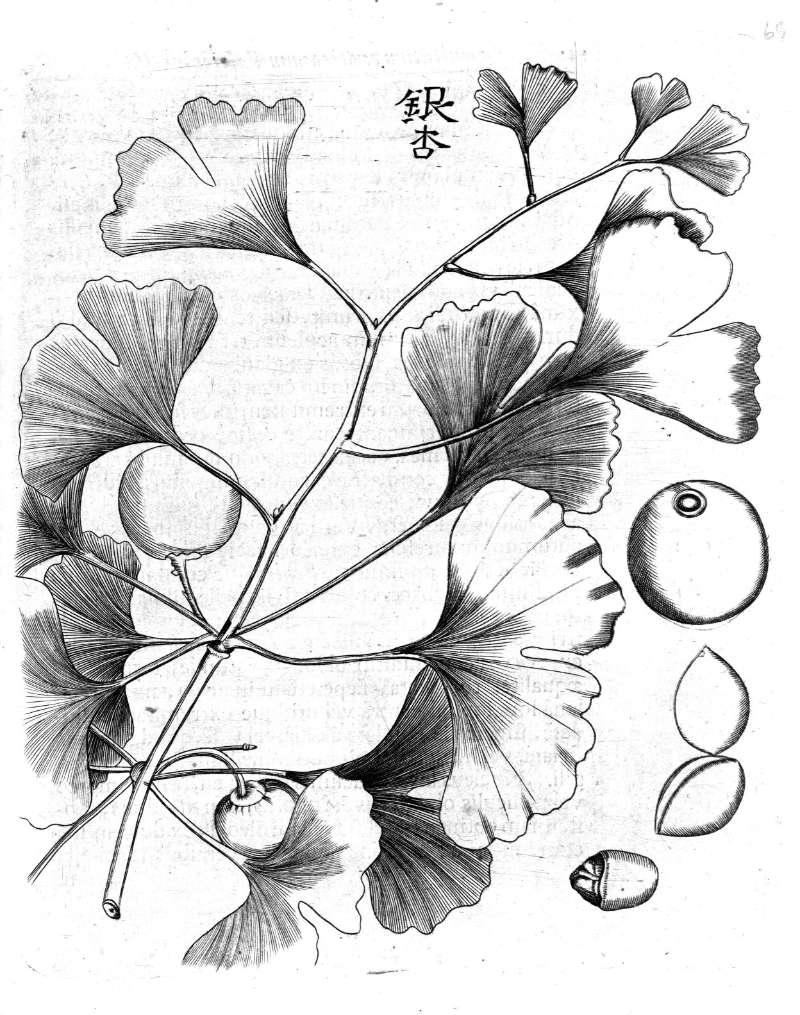 La celeberrima descrizione di <i>Ginkgo biloba</i> ne <i>Amoenitatum Exoticarum</i> di Kaempfer.