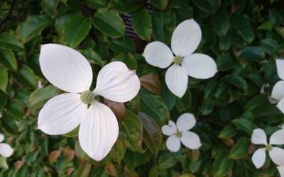 Cornioli da fiore in Giappone