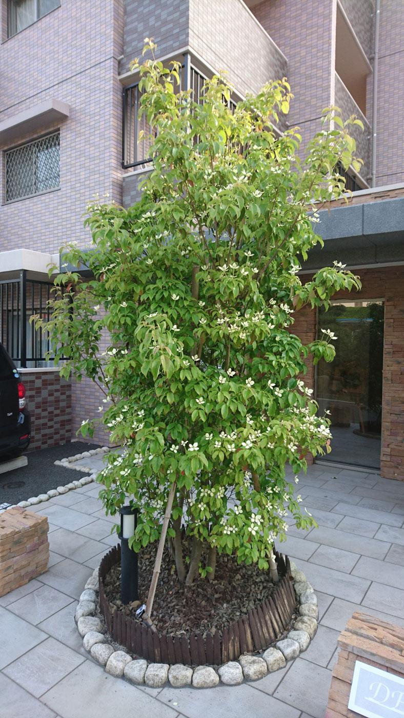 Temperamento affidabile e pregio ornamentale, non stupisce che <i>Cornus hongkongensis</i> sia tra gli alberelli più usati nell'arredo verde urbano e domestico.