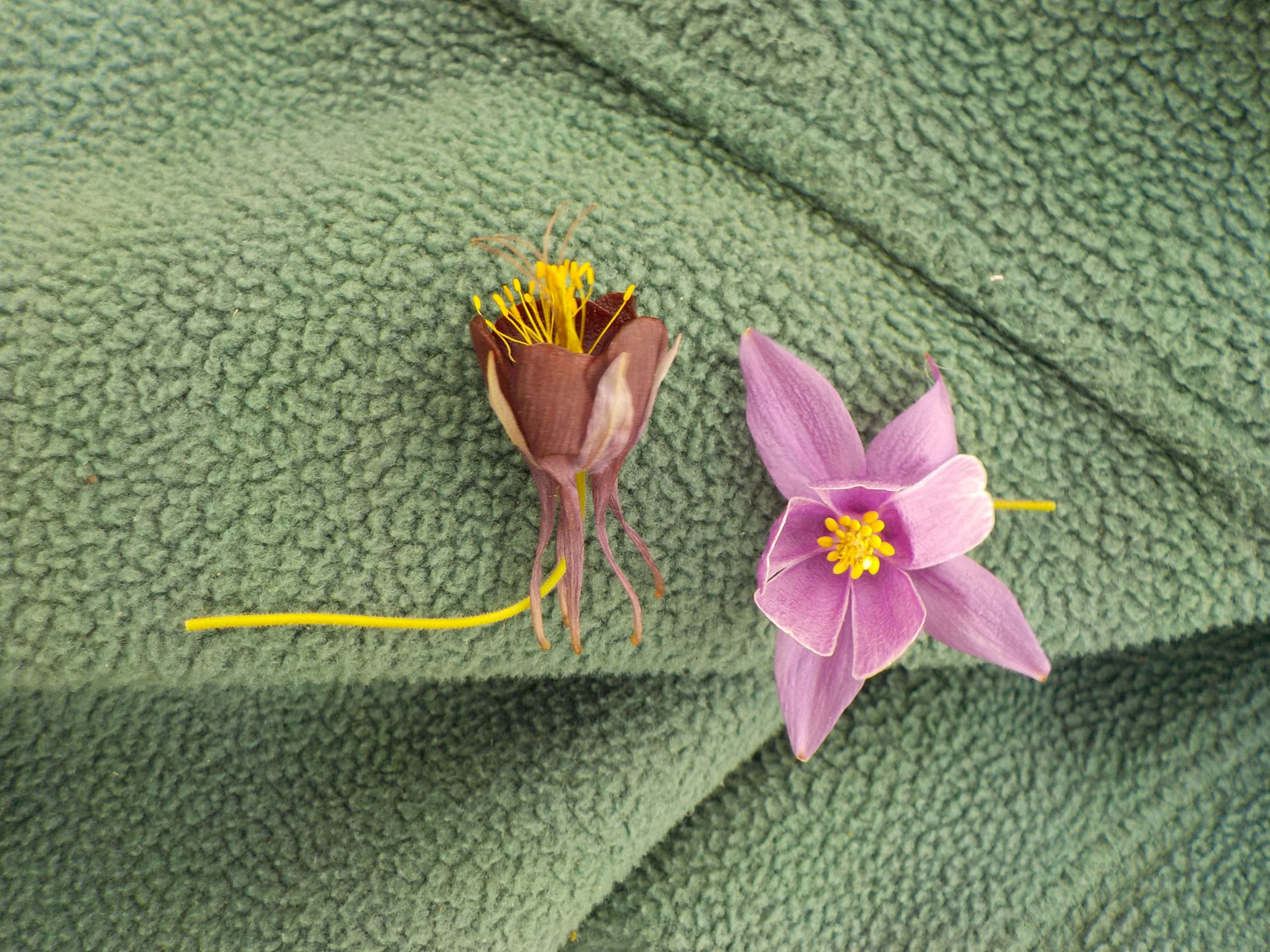 Presence and absence of the petal nectar spurs in <i>Aquilegia</i> (left) and <i>Semiaquilegia</i> (right)