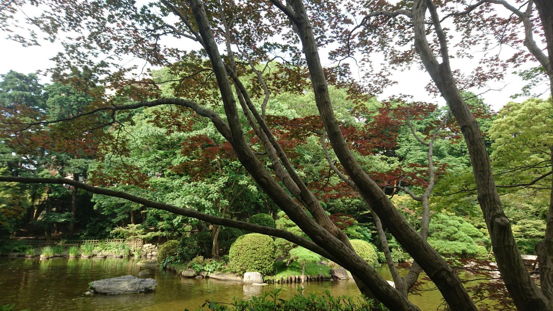 <i>Acer palmatum</i> var. <i>sanguineum</i> è fra i primi a colorarsi in mezza estate.