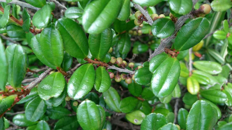 <i>Eurya emarginata</i>, fogliame e prime bacche.