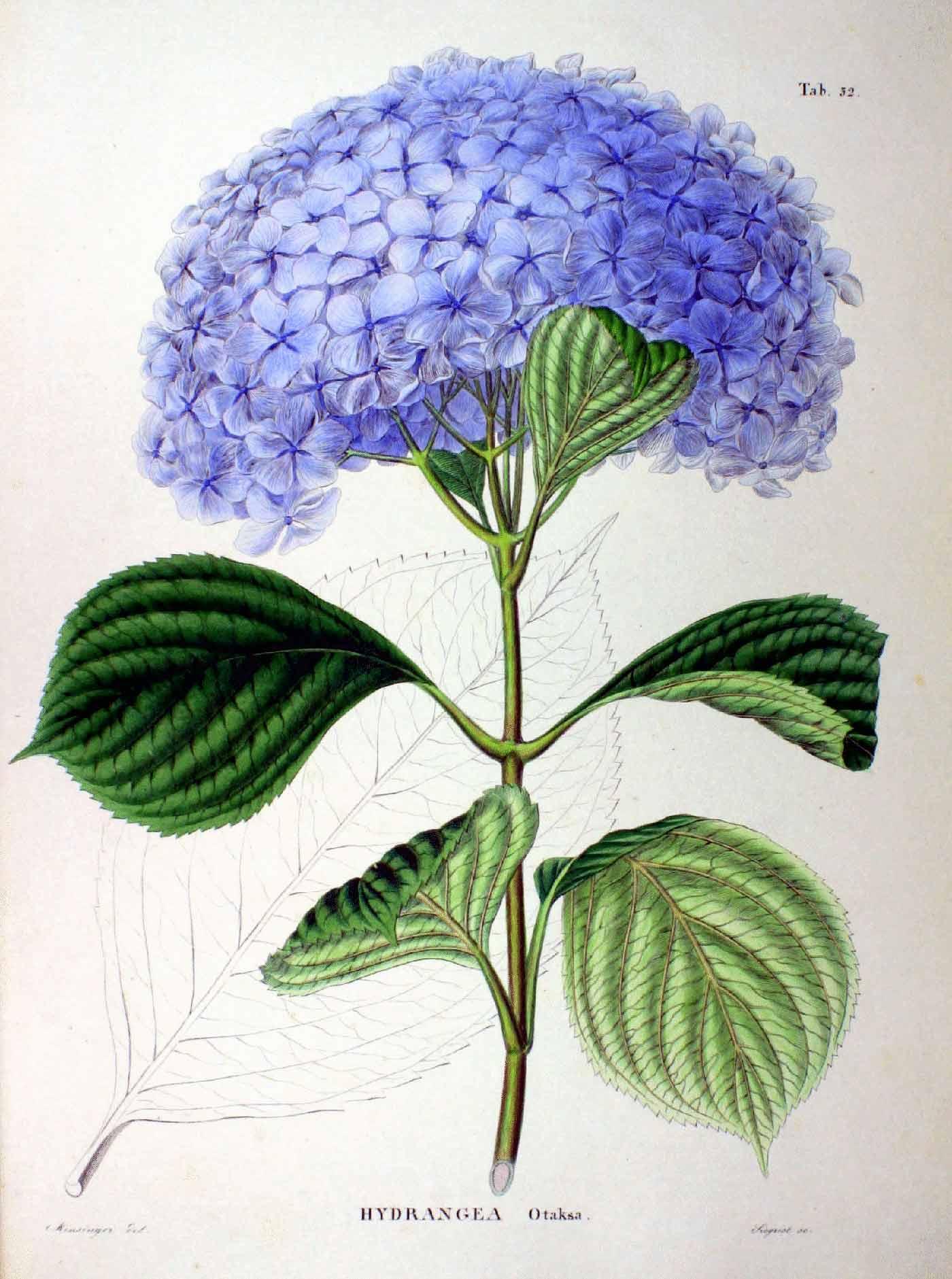 Raffigurazione di <i>Hydrangea macrophylla</i> dalla <i>Flora</i> di Siebold e Zuccarini.