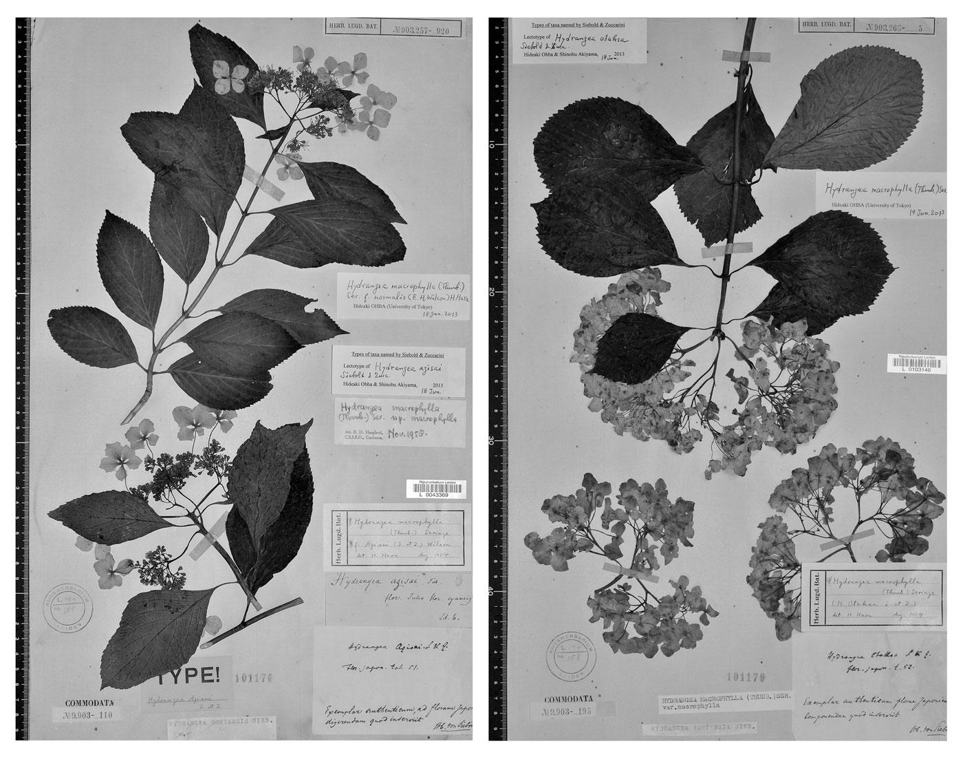 Lectotipi di <i>Hydrangea azisai</i> syn. <i>H. macrophylla</i> e <i>Hydrangea otaksa</i>.