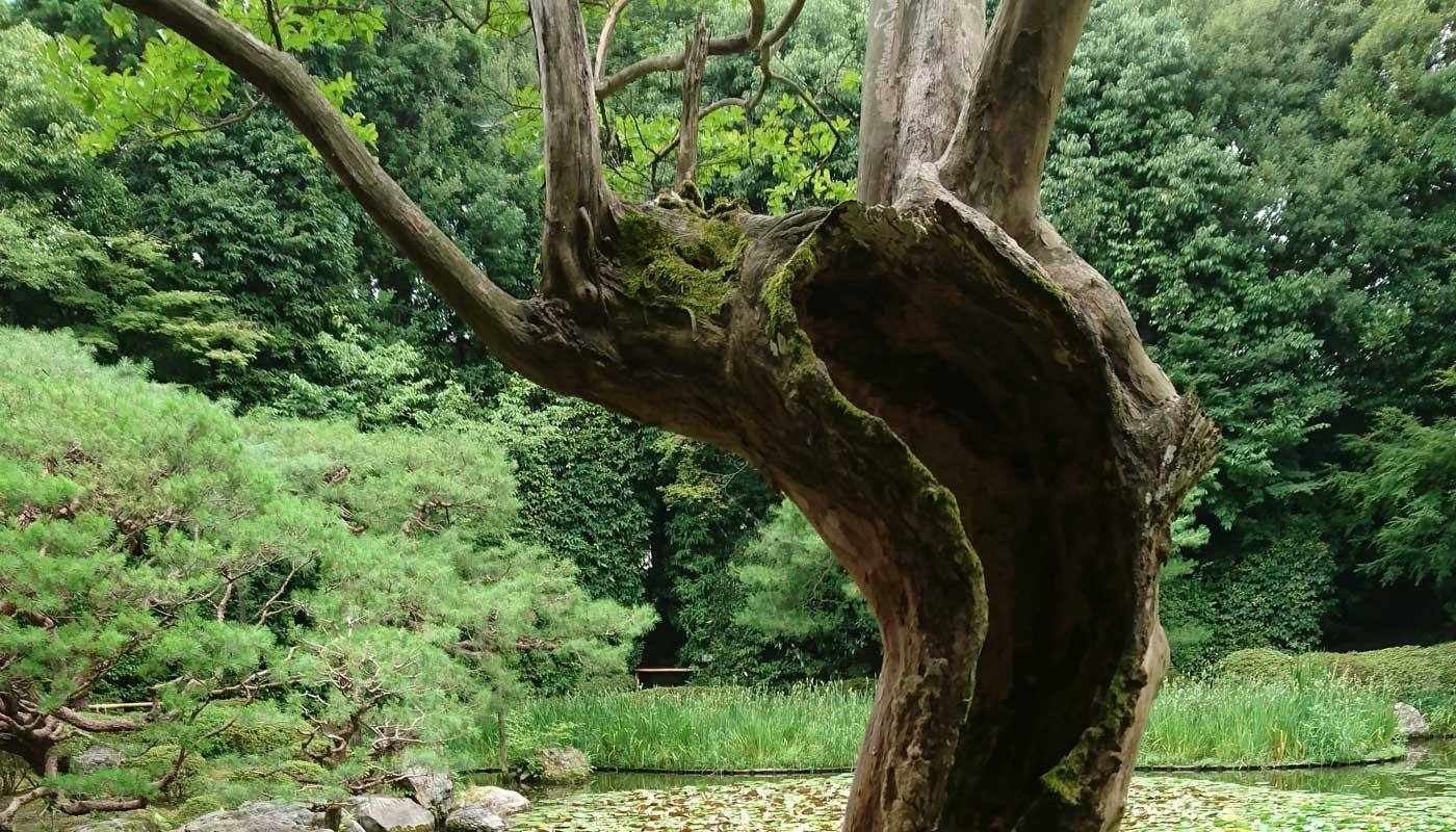 Questa lagerstroemia pare avere raggiunto il suo degno traguardo <i>wabi-sabi</i>. Qualche arboriculturista storcerà il naso, ma il fascino è innegabile.