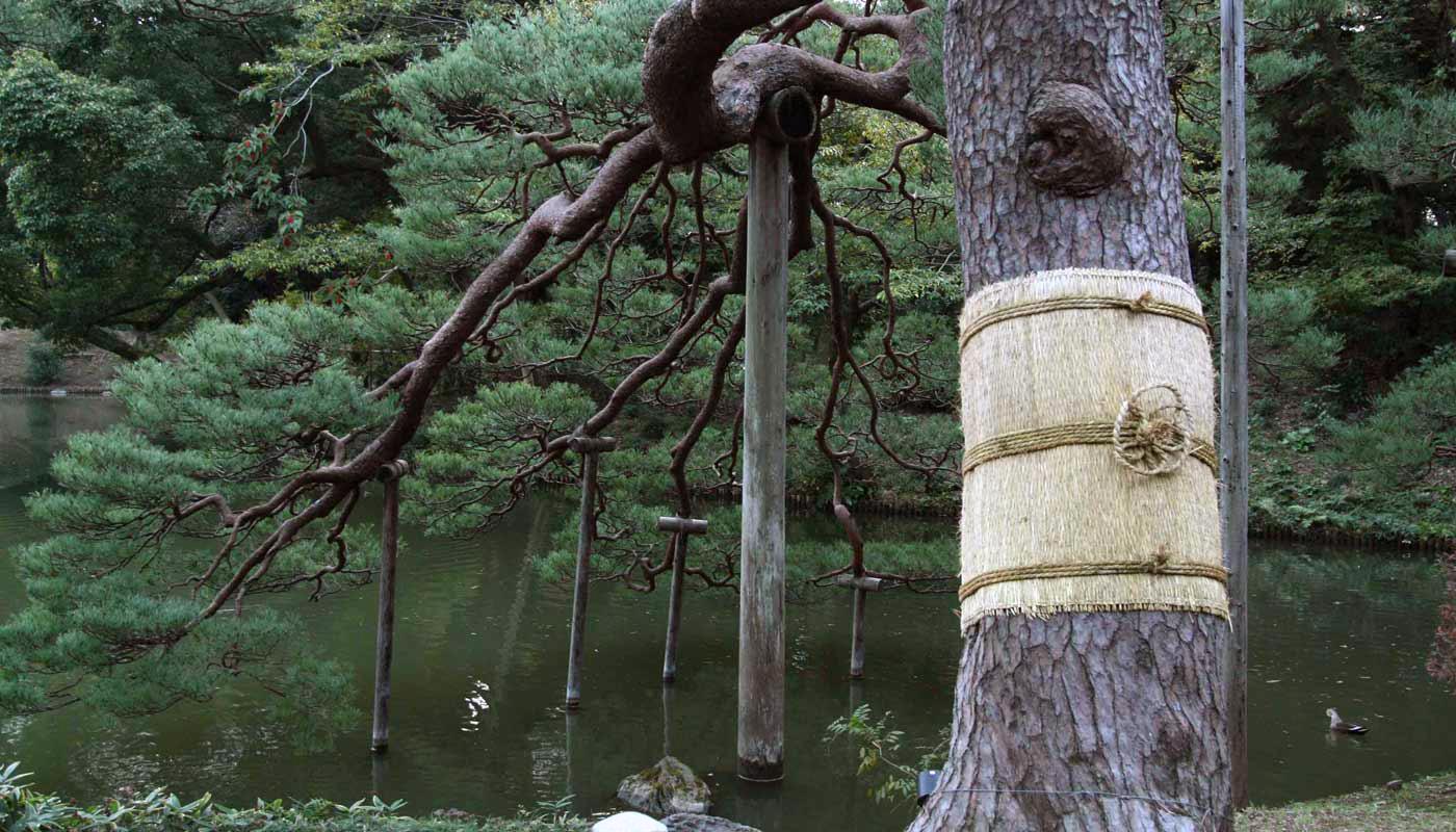 Un pino rosso giapponese (<i>Pinus densiflora</i>) avvolto nel suo bendaggio di paglia <i>fūbutsushi</i> (internet database).