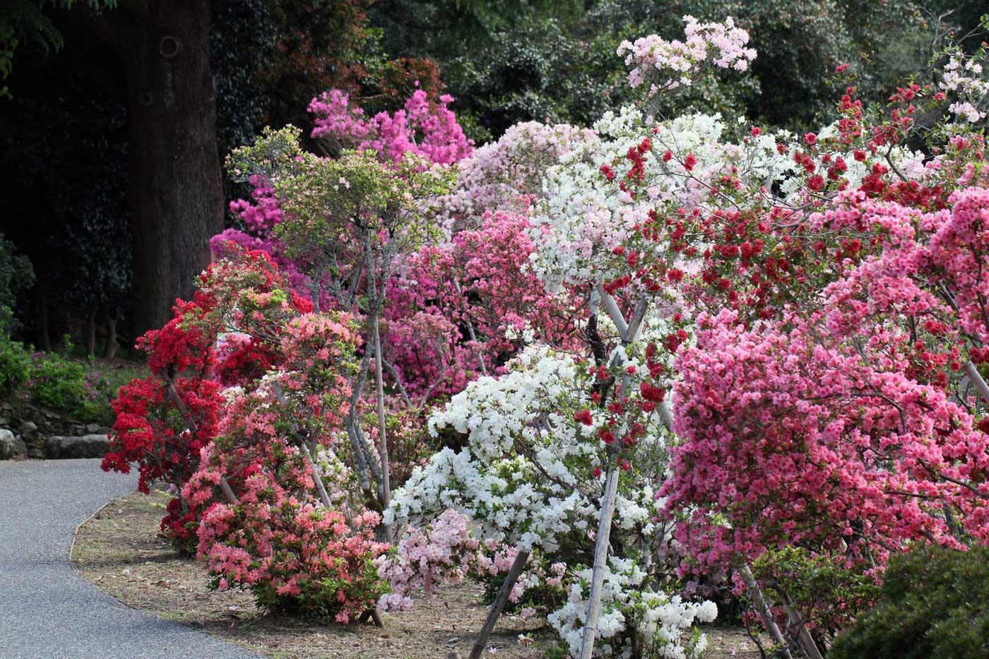 Colorful Kurume azaleas displayed in a garden near Fukuoka.