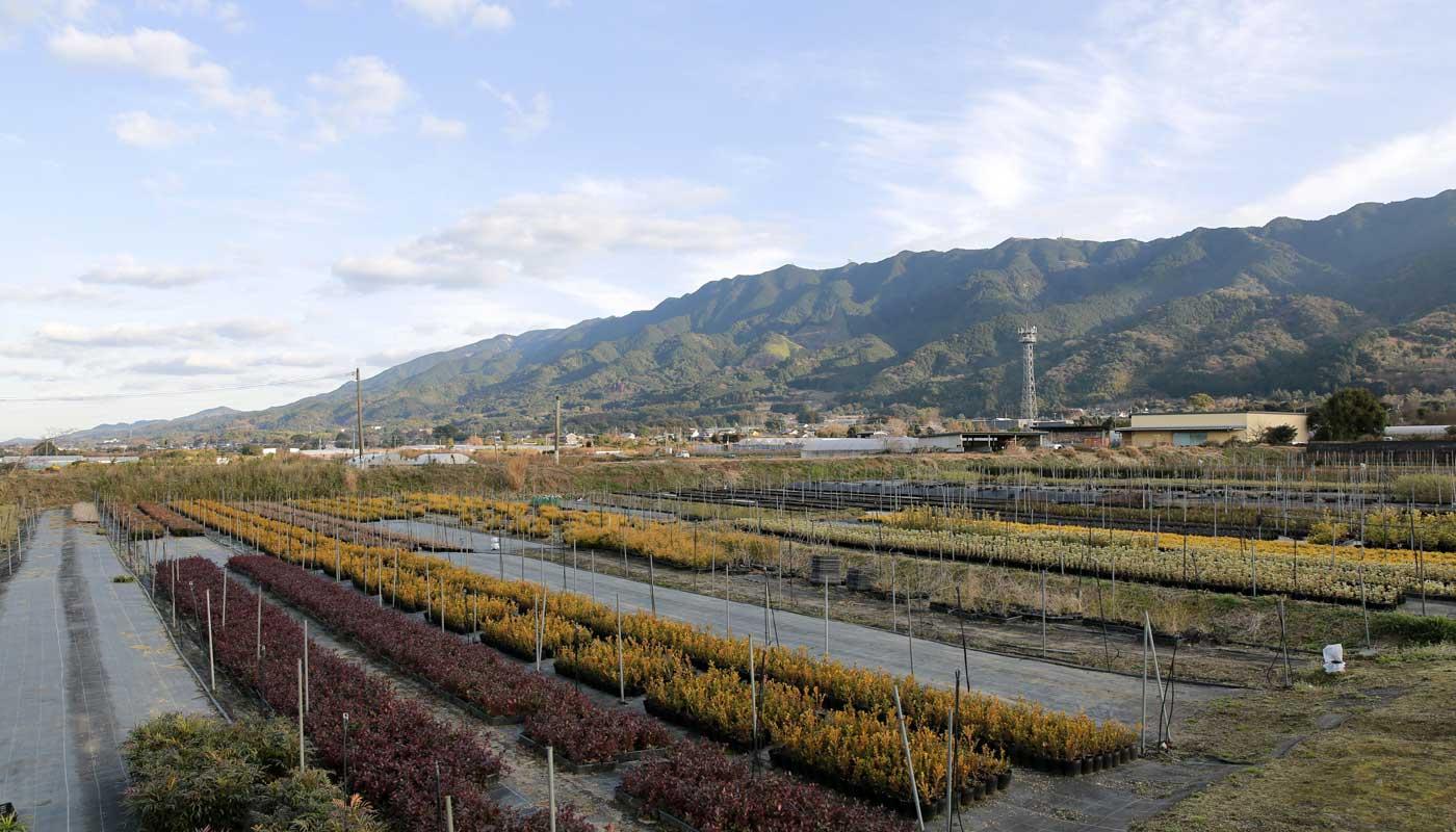 Kinka-en nursery, just outside the city of Kurume.