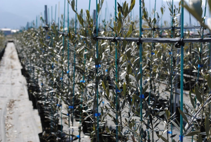 Young Olive Trees At Kinka En Nursery
