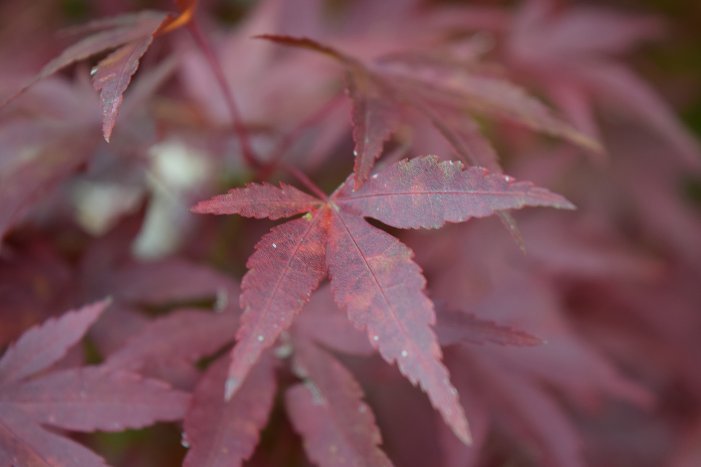 Le eleganti foglie lobate di <i>Acer palmatum</i>, il più aristocratico degli aceri giapponesi.