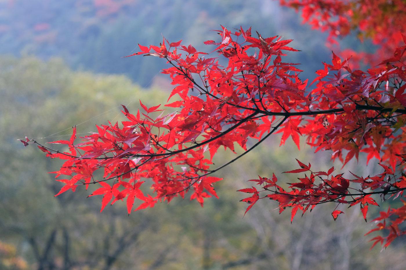 Altro caso di combustione naturale di <i>Acer palmatum</i> presso le stesse montagne Yabakei.