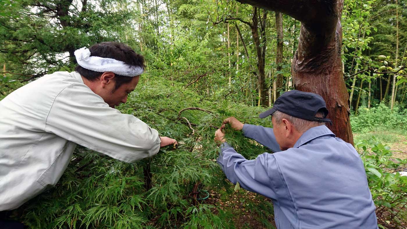 Ken e Yasushi sfoltiscono un ramo di <i>Acer palmatum</i> 'Dissectum' Group.