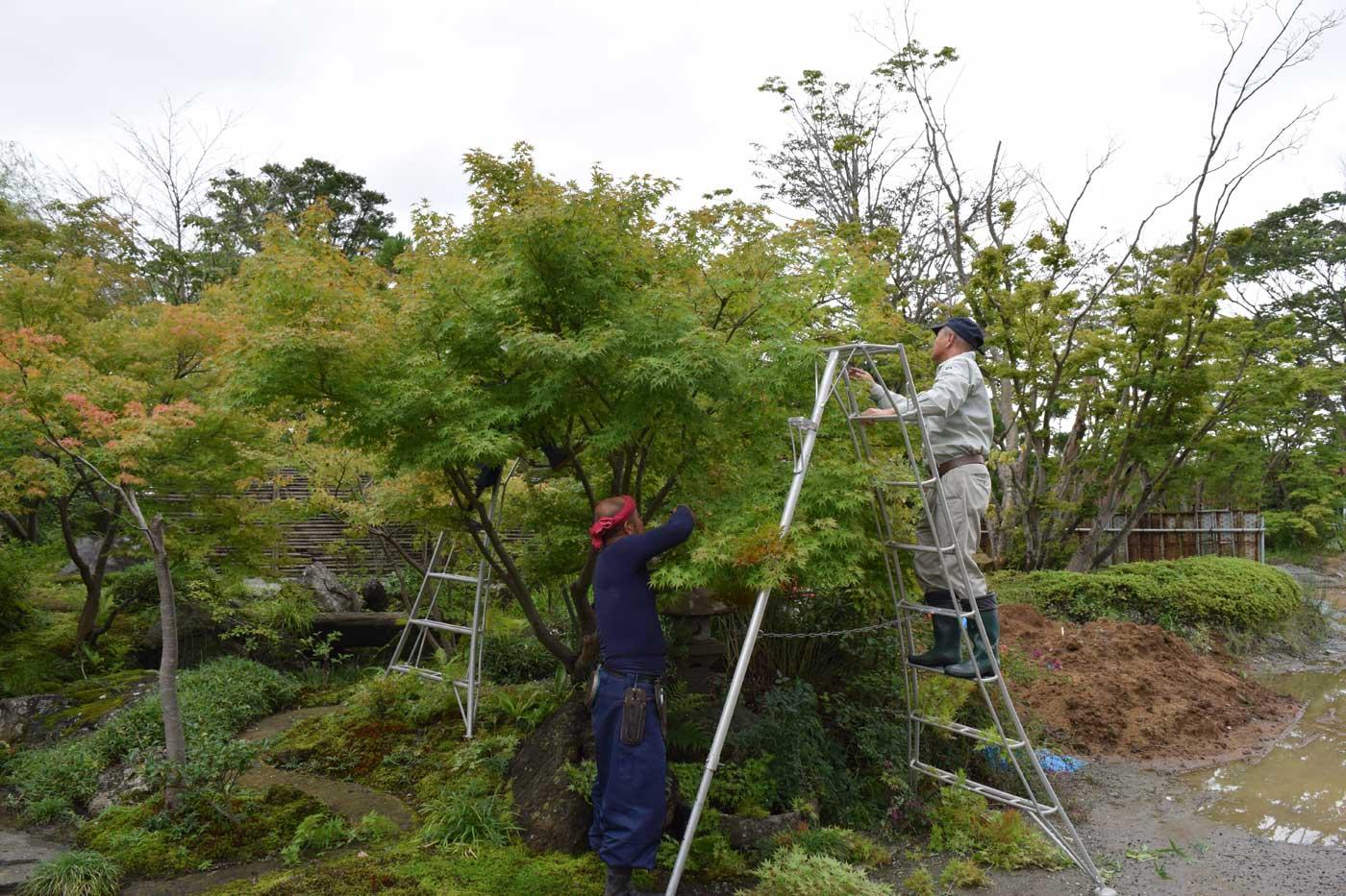 Ken, Yasushi e Takayuki alle prese con la potatura di <i>Acer palmatum</i> (before picture).