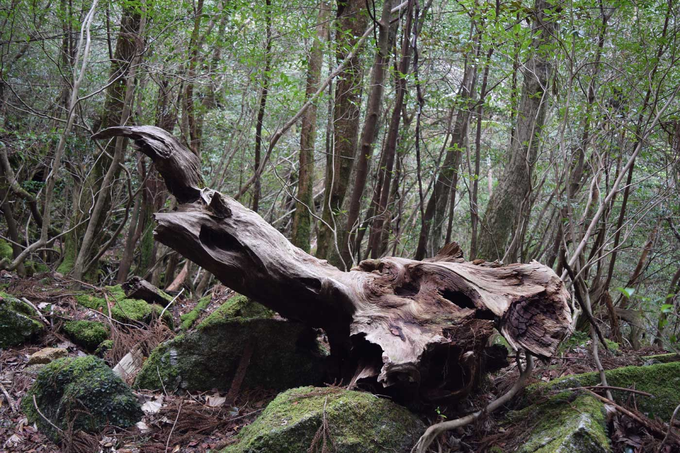 Beautiful stump of <i>sugi</i>. The timber is not prone to decay and used for local <i>domaiboku</i>.