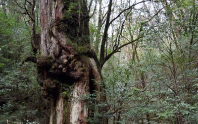 The sacred giants of Yakushima