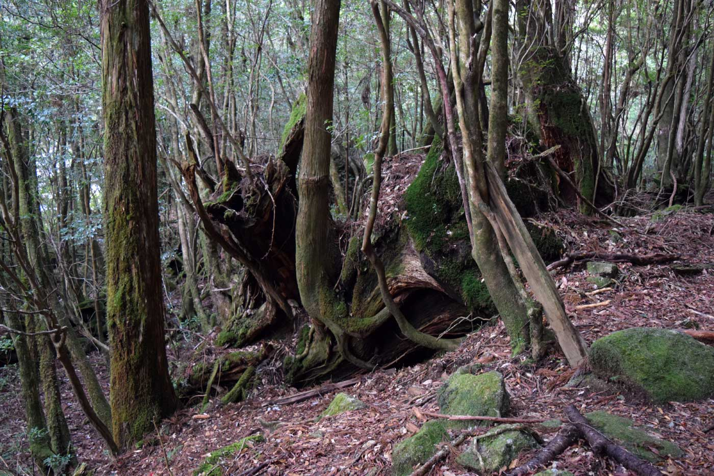 Generation renewal on <i>Cryptomeria</i> stumps in the forest.
