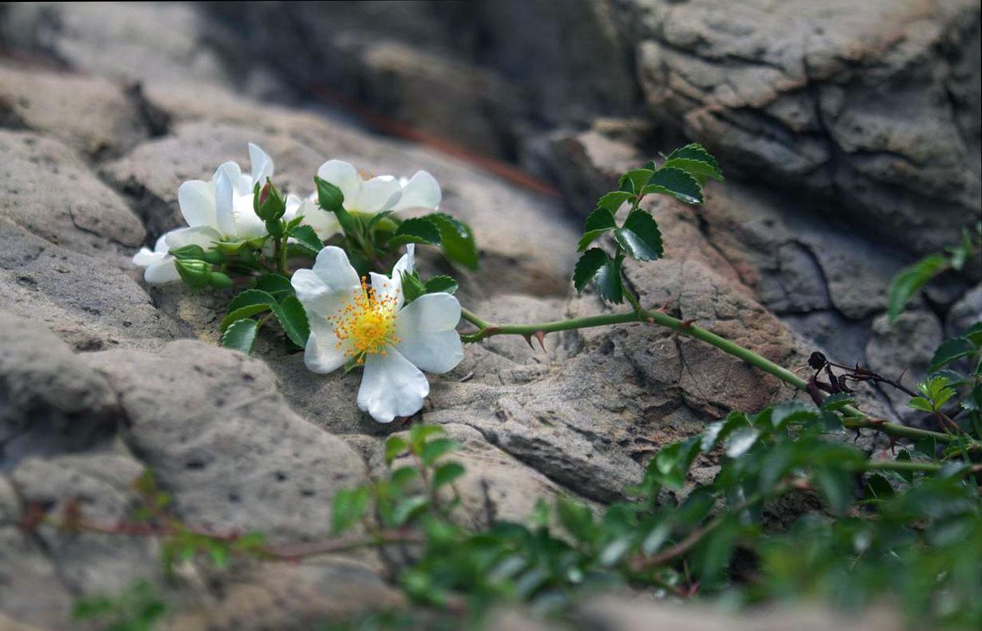 Foto ravvicinata dello stesso esemplare (dal sito www.wildplantsshimane.jp).