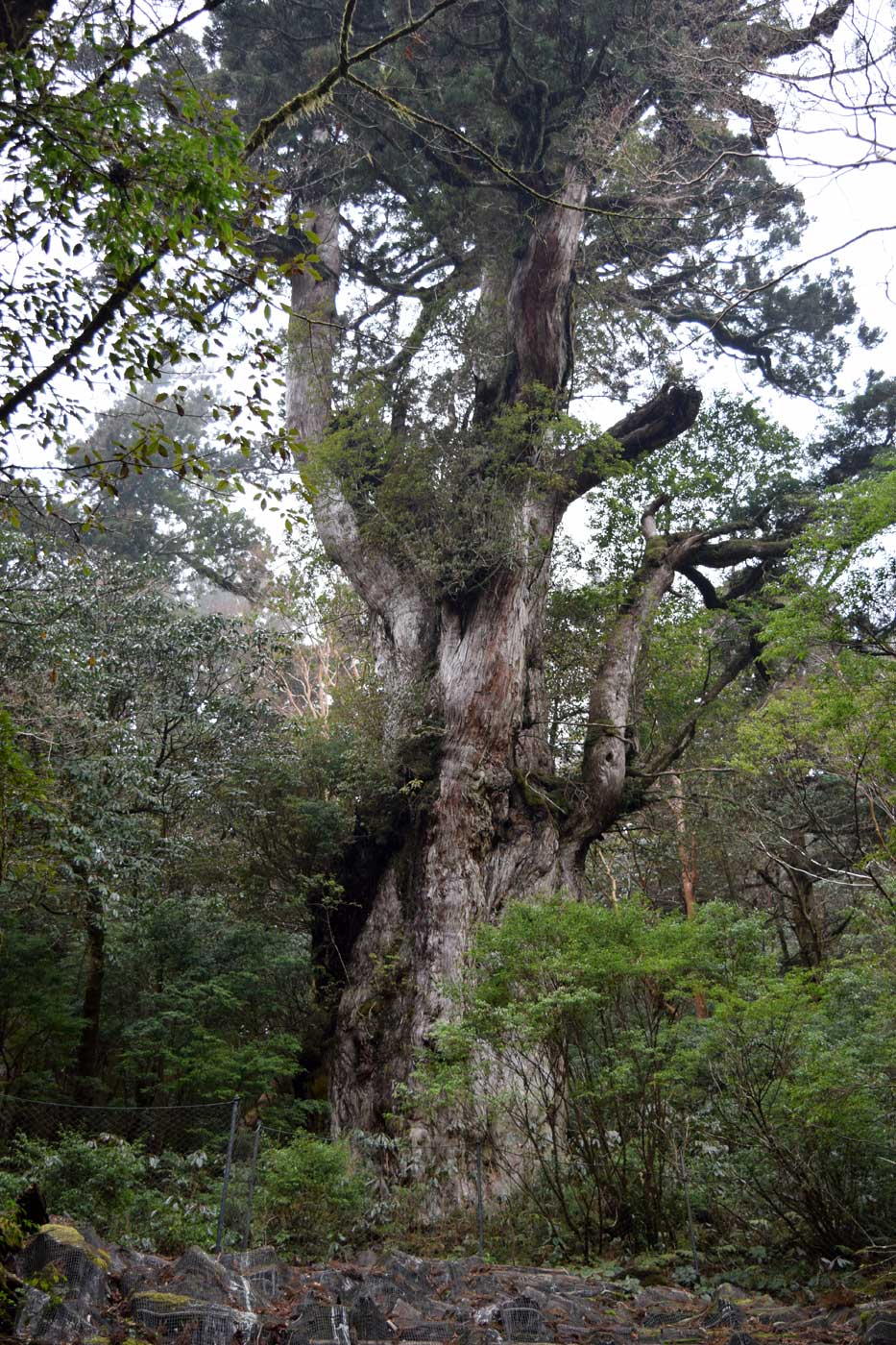 The <i>Jōmon sugi</i> is the largest conifer in Japan (height 25.3 m; diameter 5.22 m; trunk circumf. 16.4 m).