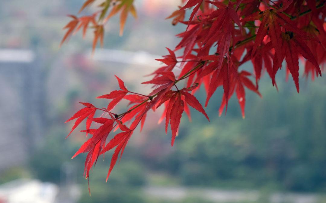 Pruning Japanese Maples Giulio Veronese