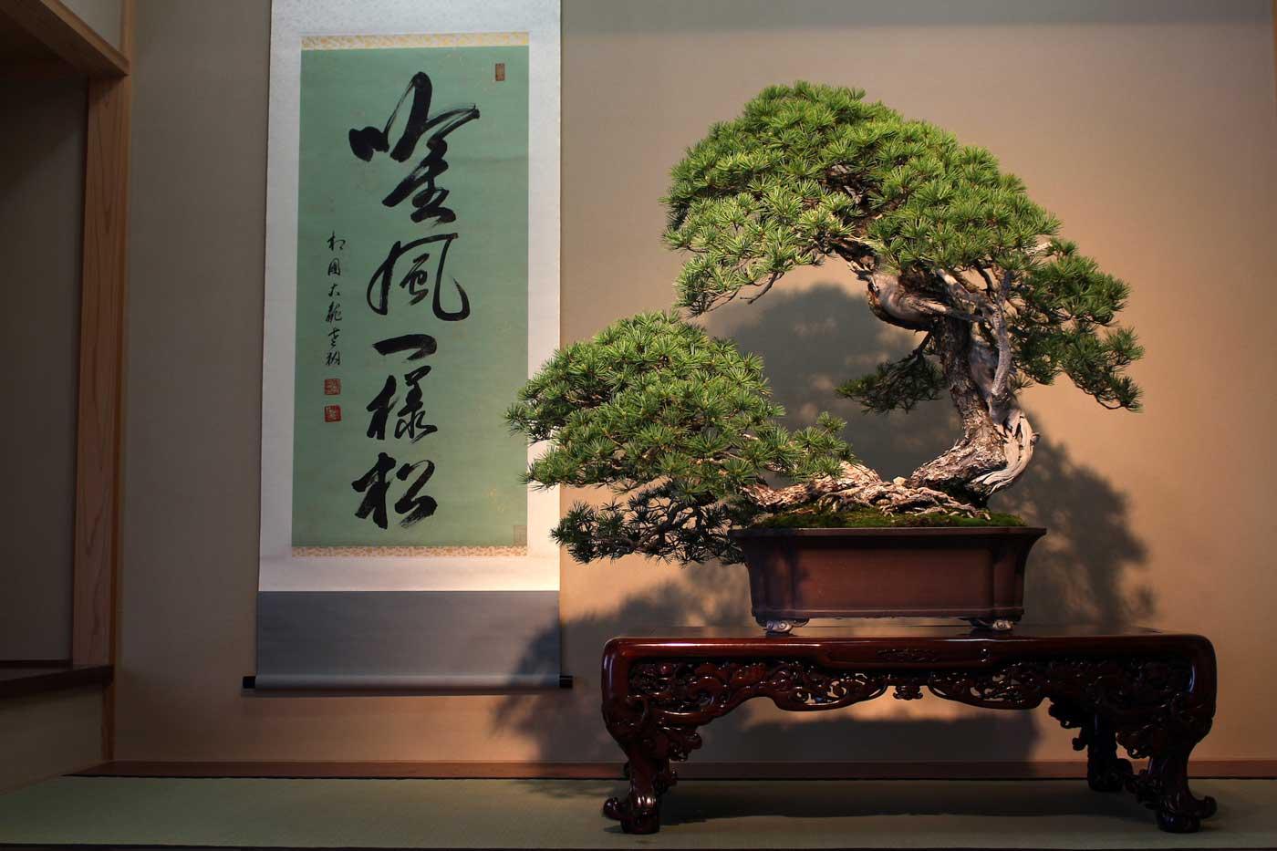 "Special guest, <i>Pinus parviflora</i> ""Higurashi""."