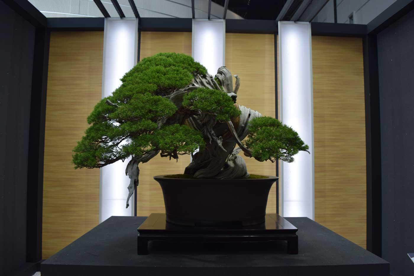"""<i>Juniper chinensis</i> Shimpaku """"Hiryu"""" è il bonsai-copertina della manifestazione."""