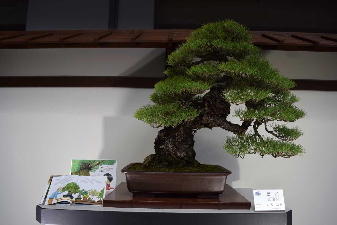 <i>Pinus thunbergii</i> miracolosamente sopravvisuto al bombardamento atomico.