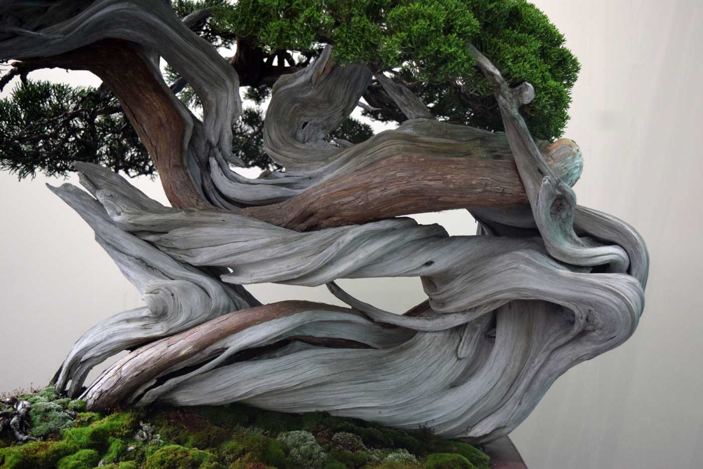Effetto <i>shari</i> su un bonsai shinpaku. <i>Shari</i> significa ossa di buddha.
