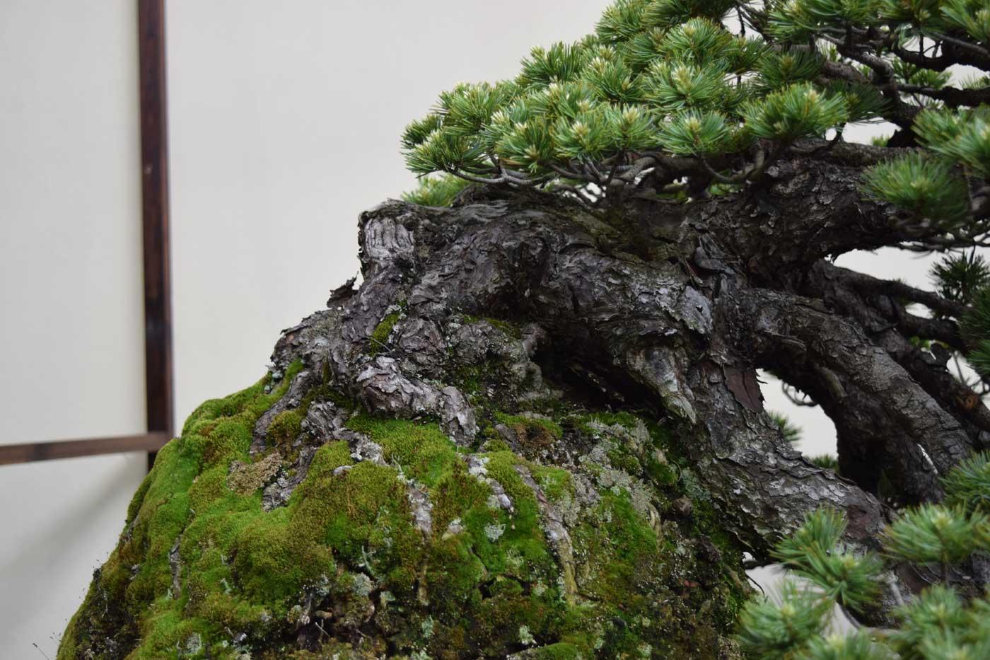 Effetto <i>nebari</i> (radici esposte) su un pino nero giapponese.