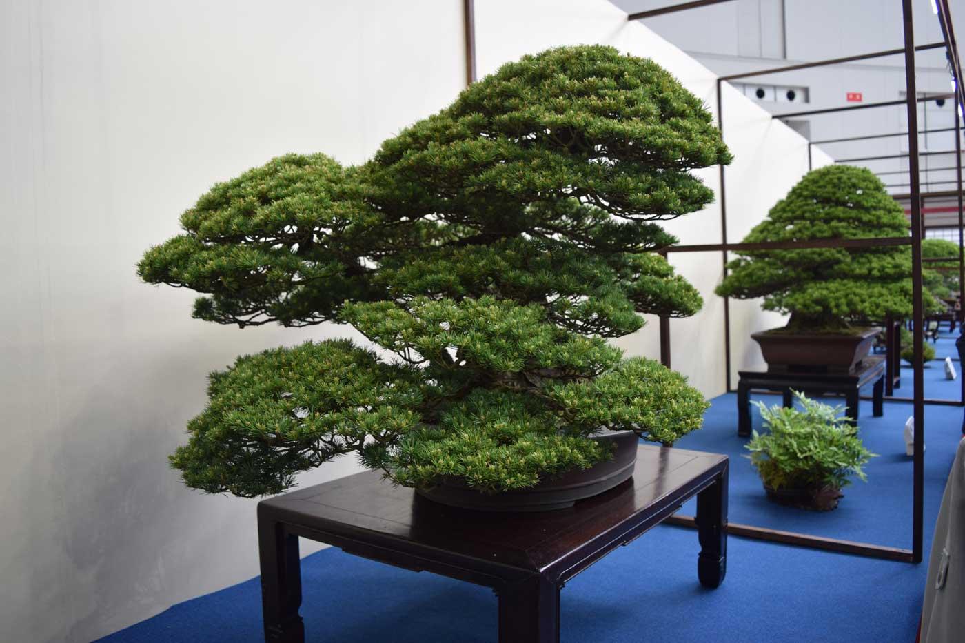 Un grande classico: il pino bianco giapponese (<i>Pinus parviflora</i>).