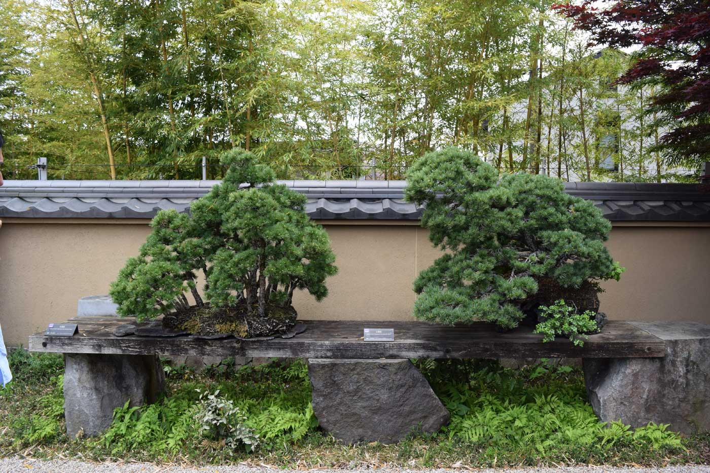 Due stupendi pini bianchi giapponesi. Nella migliore delle cornici.