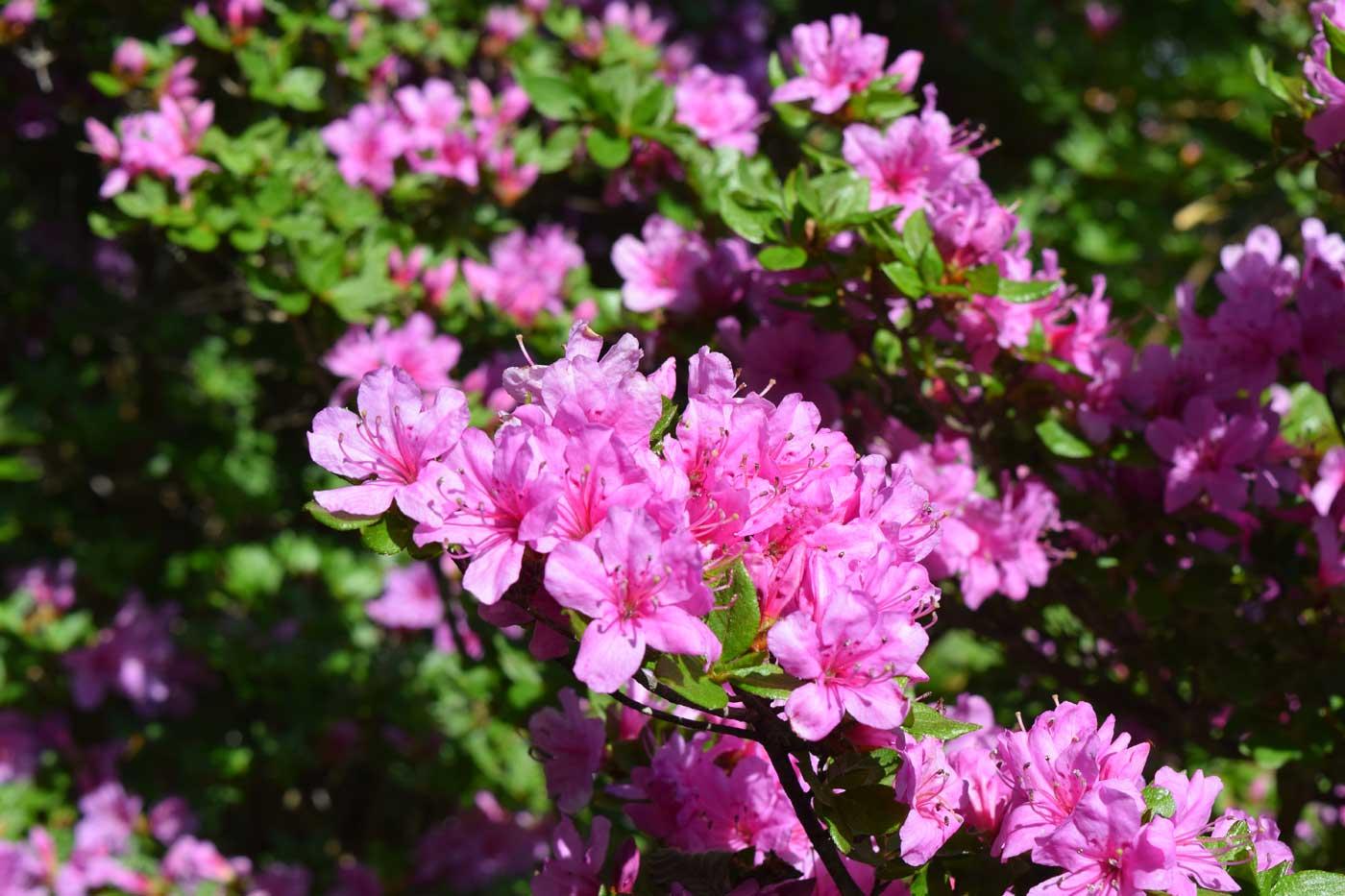 <i>Rhododendron</i> x <i>obtusum</i>.