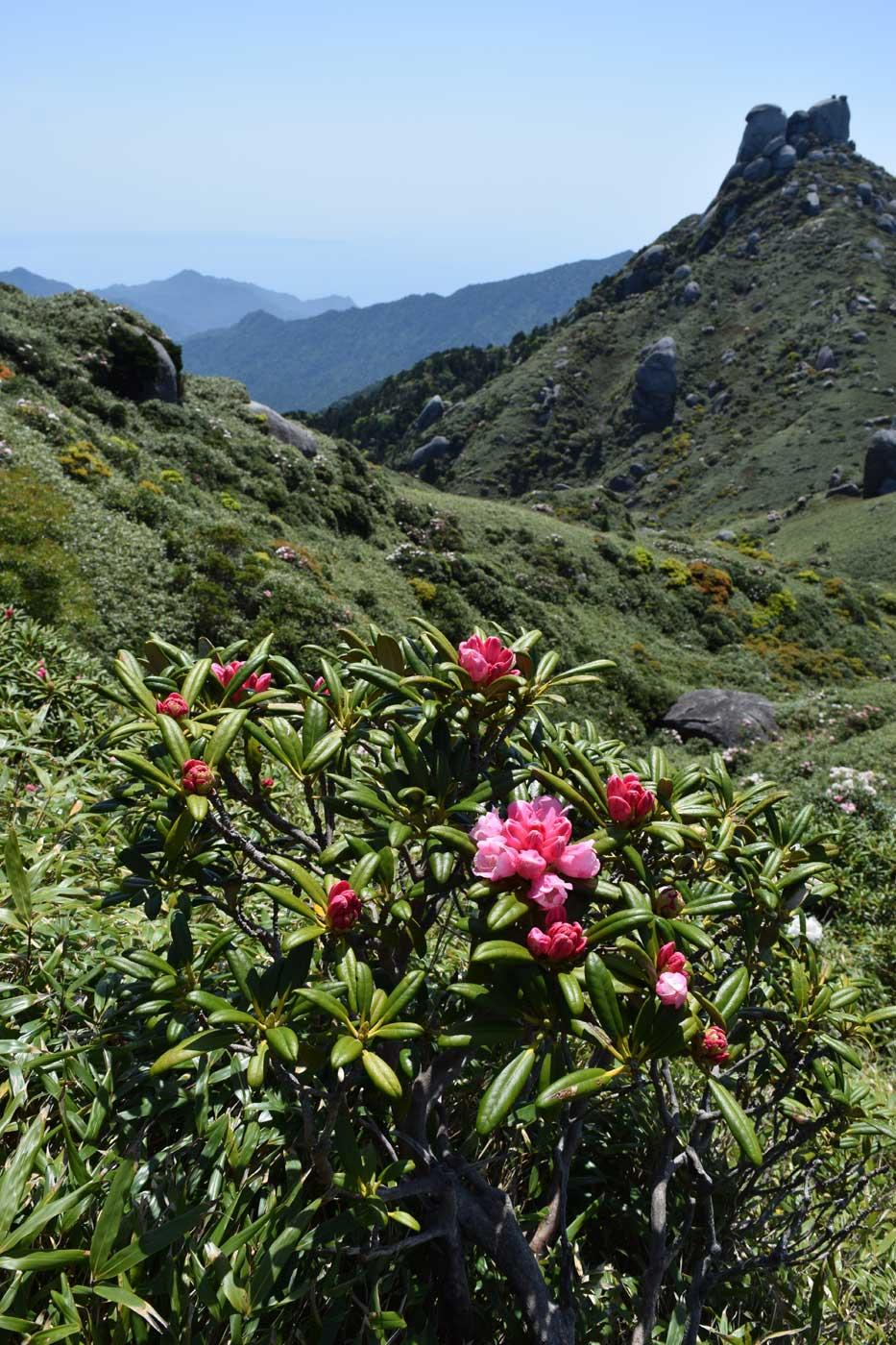 <i>Rhododendron yakushimanum</i>.