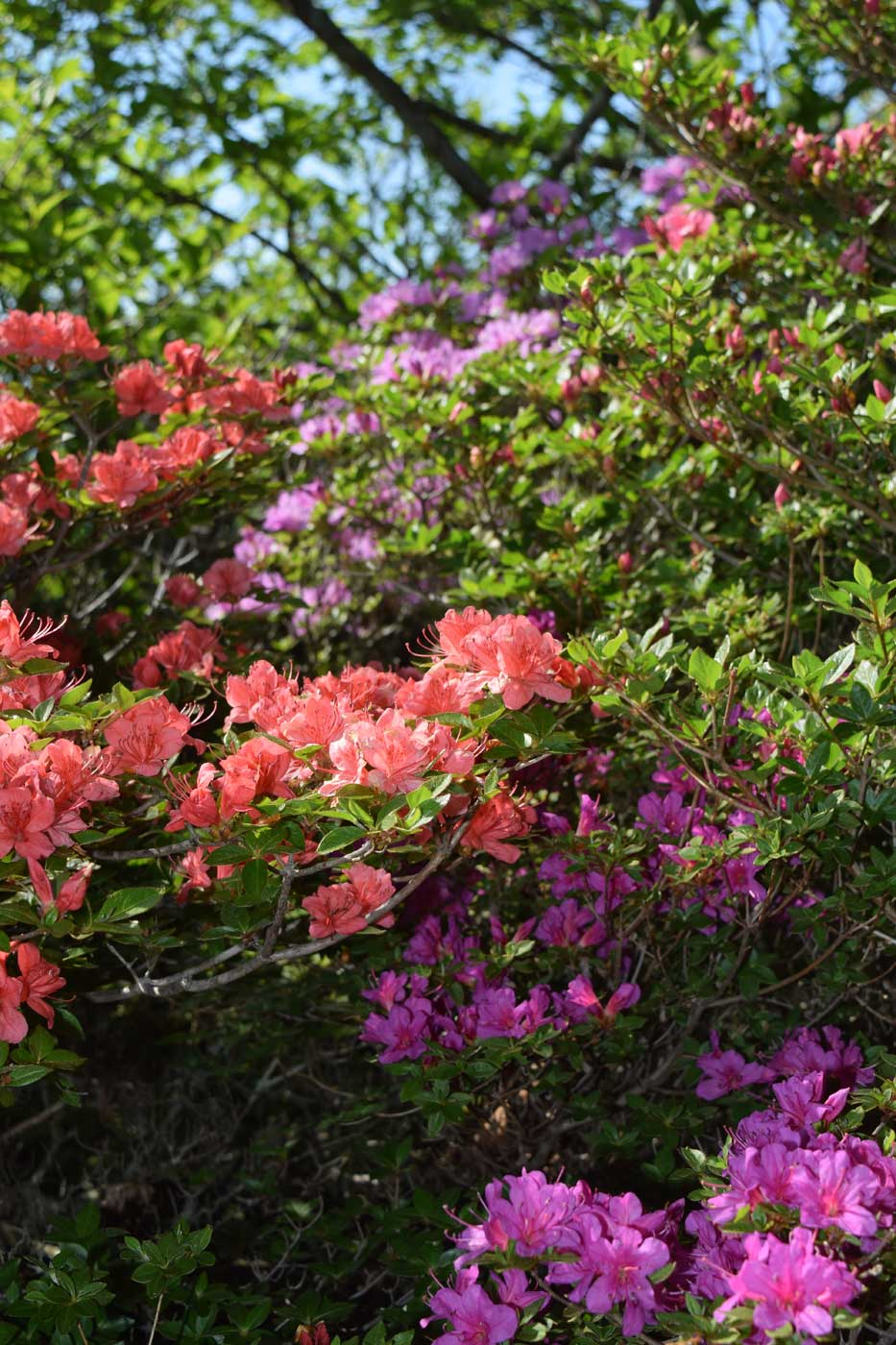 The bewildering population of <i>Rhododendron</i> x <i>obtusum</i>, showing impressive degree of variation.