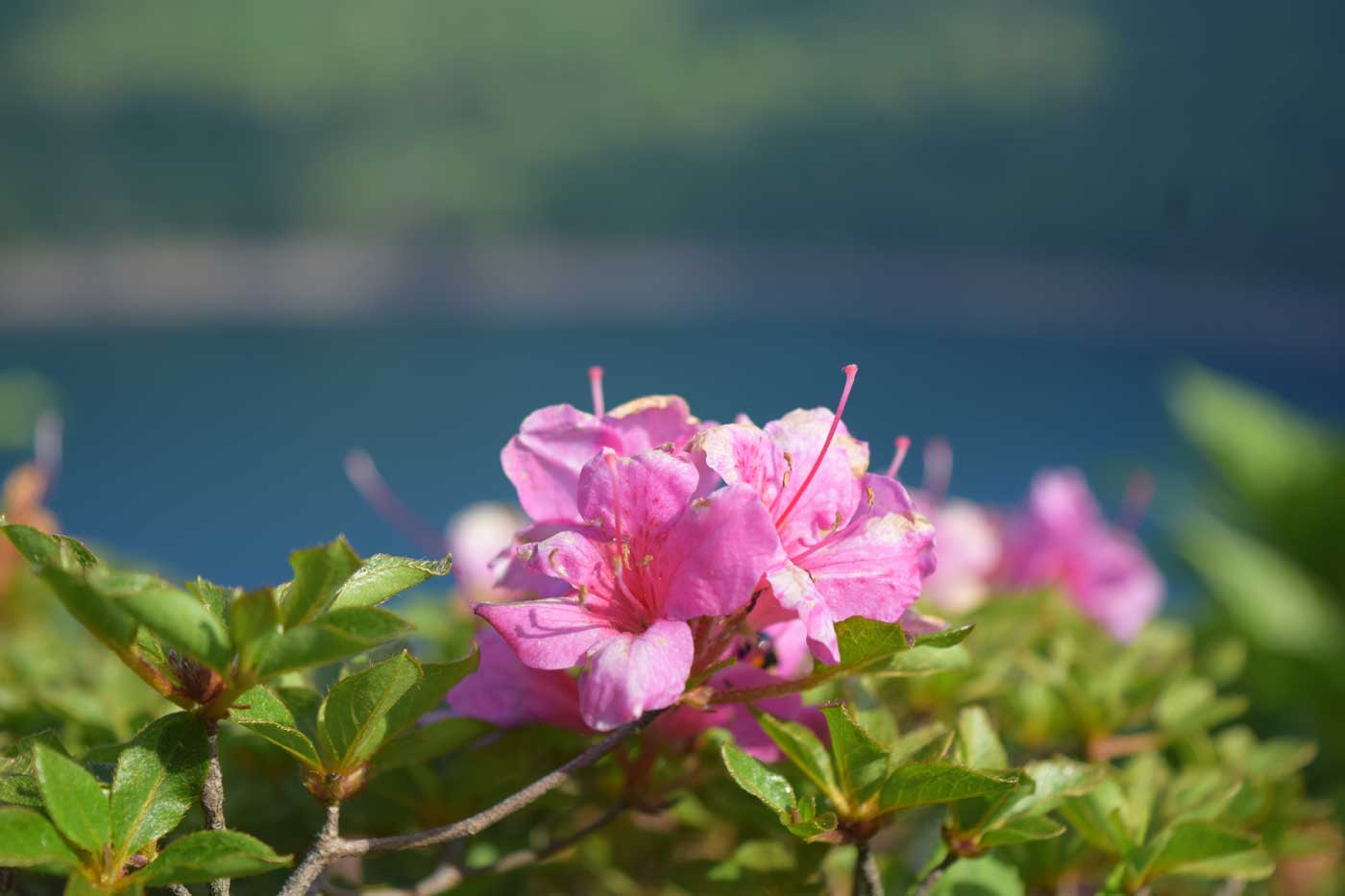 Flowers of <i>Rhododendron</i> x <i>obtusum</i> by Lake Onami.