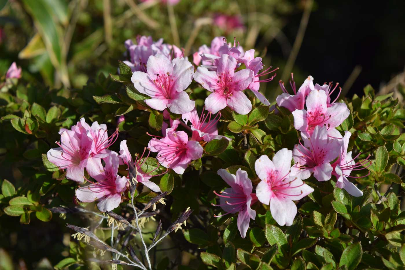 <i>Rhododedron</i> x <i>obtusum</i>.