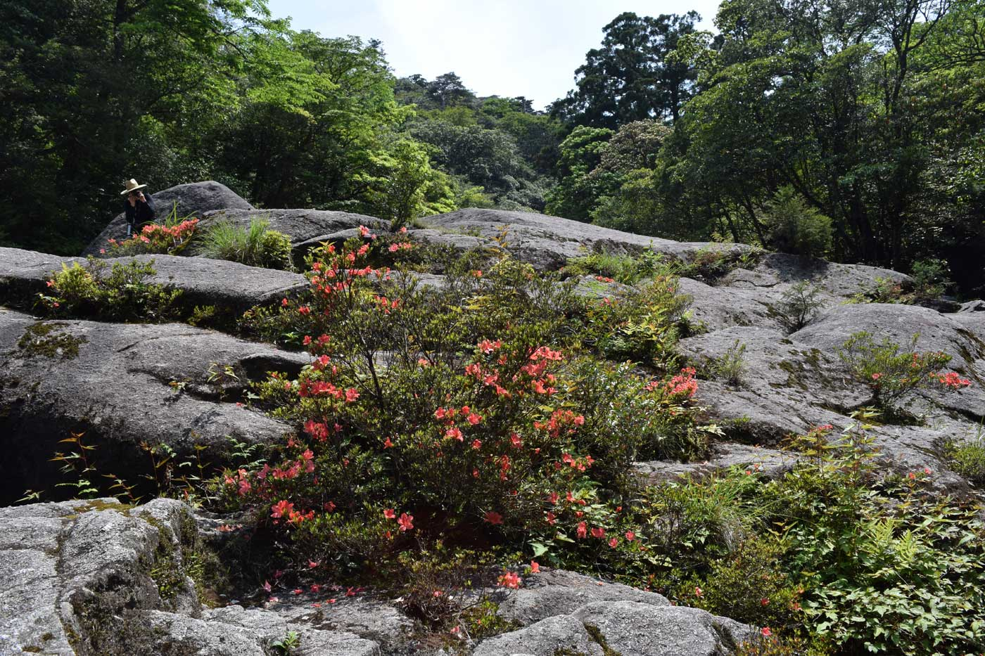<i>Rhododendron indicum</i> sitting on the ravines of Shiratani Unsuikyo.