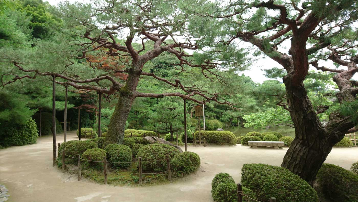 Wonderful specimens of <i>Pinus densiflora</i> in the Heian Garden, Kyoto.