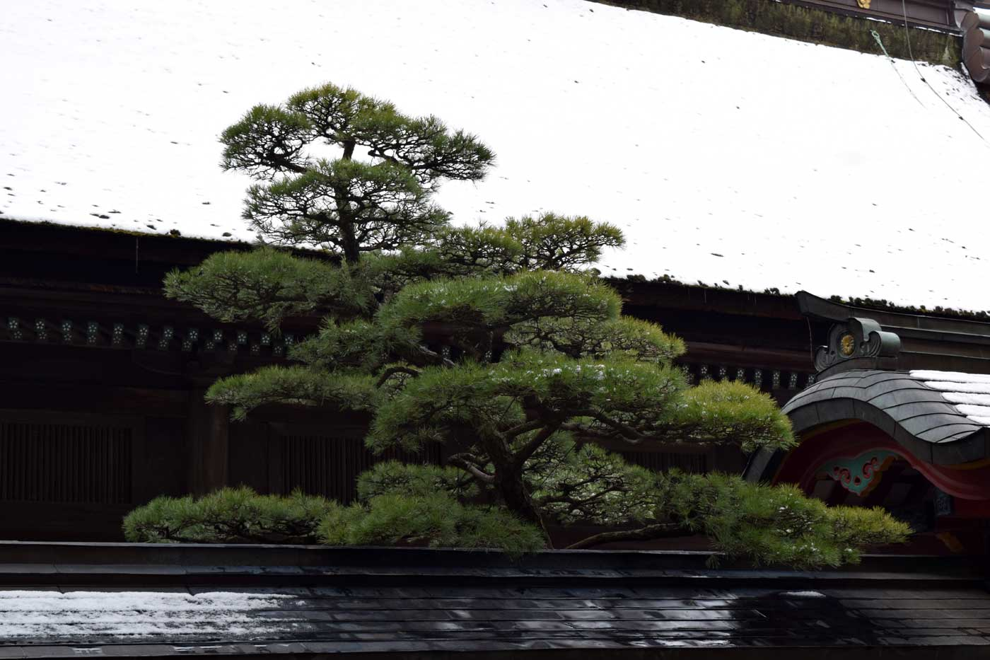 <i>Pinus thunbergii</i> enclosed in the sacred grounds of Dazaifu Tenmangu (Fukuoka Prefecture).