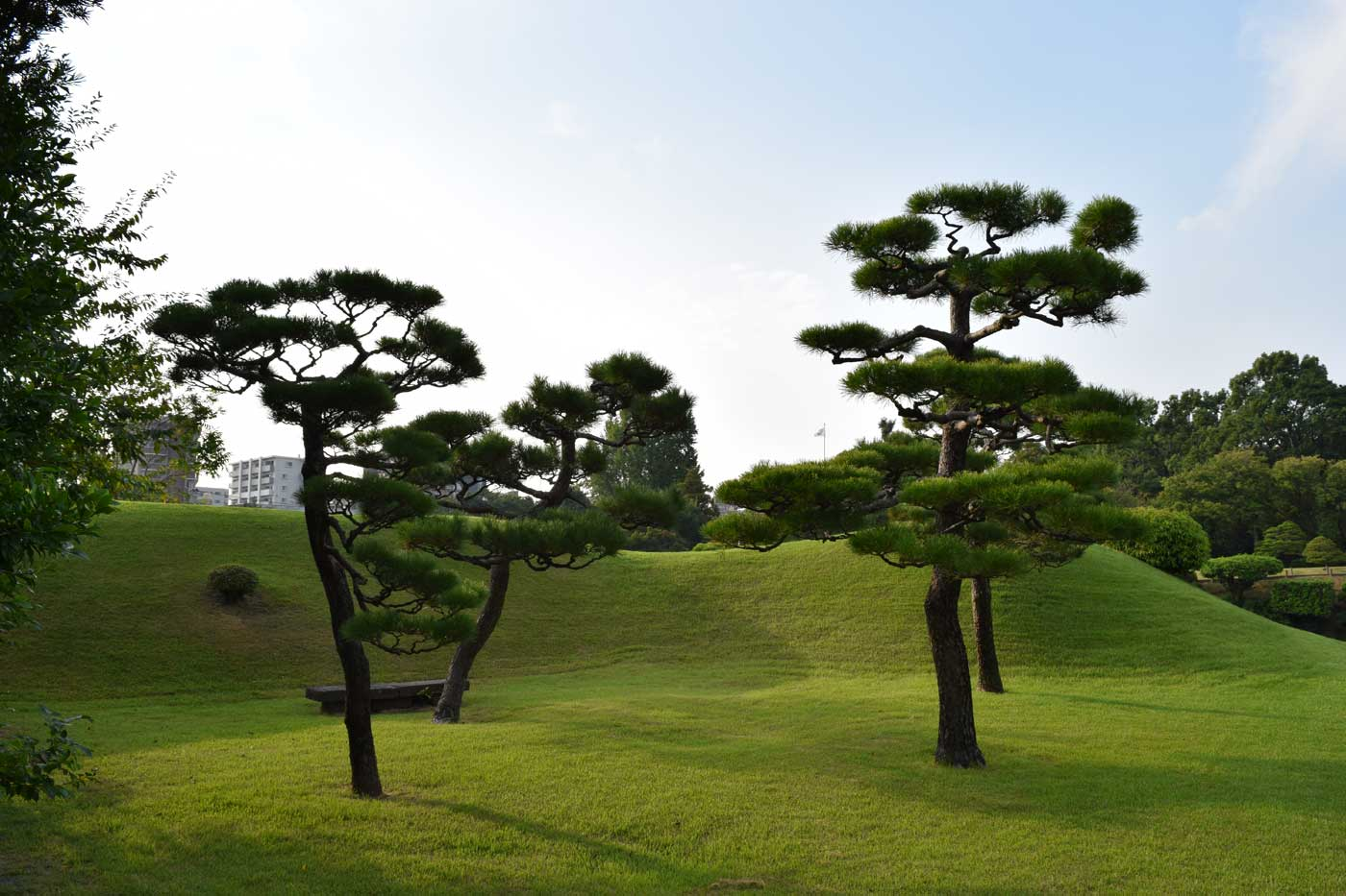 Scenery of <i>Pinus thubergii</i> at Suizen-ji Garden in Kumamoto.