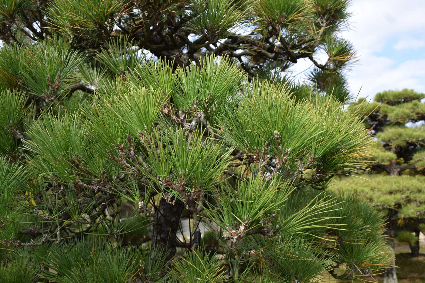 Branches of <i>Pinus thunbergii</i> AFTER <i>momiage</i>.