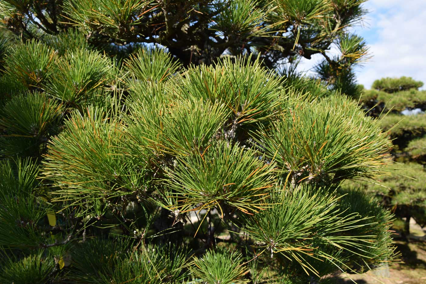 Branches of <i>Pinus thunbergii</i> BEFORE <i>momiage</i>.