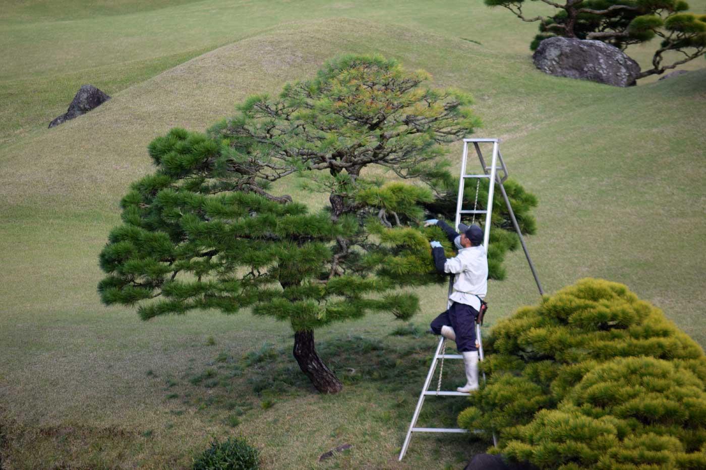 Professional <i>momiage</i> in the gardens of Suizen-ji, Kumamoto.