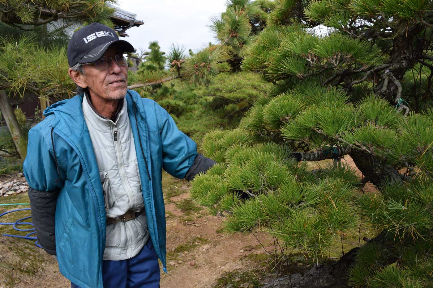 Tadei-san describes the process of <i>momiage</i> on a Japanese black pine.