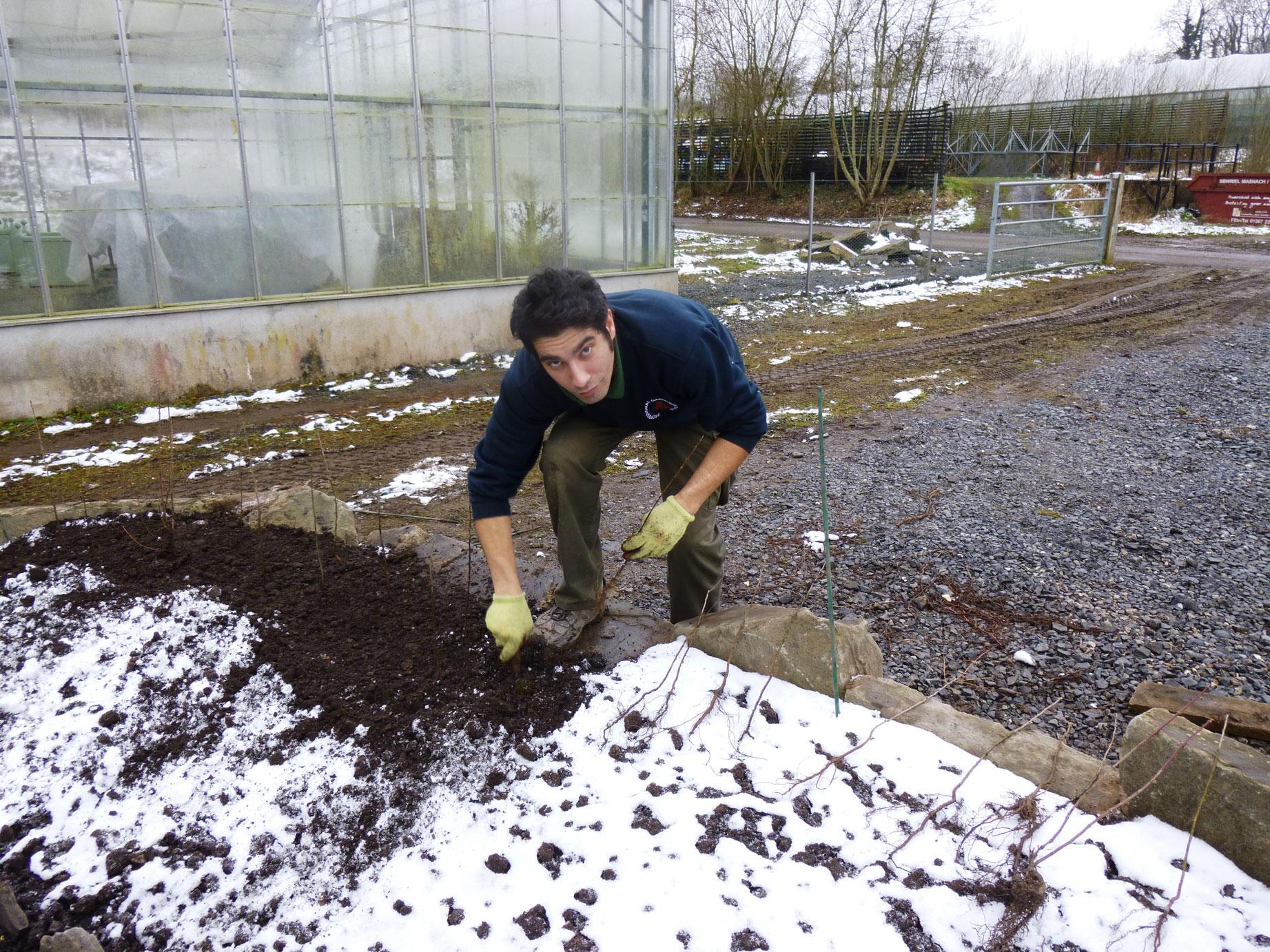 Planting the Saxon hedge