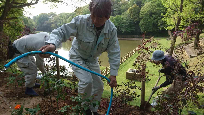 Blitz planting of an area of the Garden (<i>Loropetalum chinense</i> var. <i>rubrum</i>)