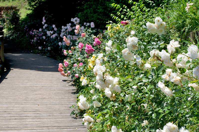 More than 1000 different rose species and cultivars are displayed at the English Garden