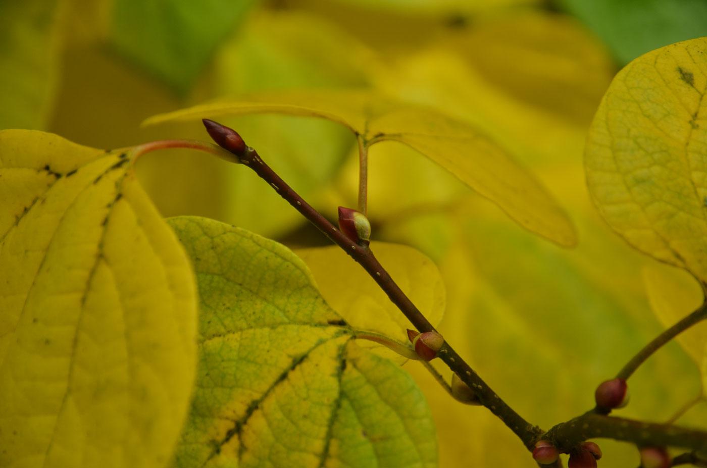 Budding twigs of <i>Lindera obtusiloba</i> at Wespelaar Arboretum